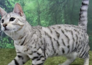 www.amazonbengals.com Silver Black Spotted Bengal Kitten