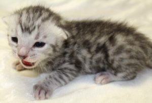www.amazonbengals.com Prince Carson Silver Spotted bengal kitten male 1 DOB 05-05-2019