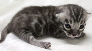 www.amazonbengals.com Prince Marcos Silver Charcoal Spotted Bengal Kitten Male DOB 04-30-2019