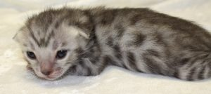 www.amazonbengals.com Prince Thom Silver Spotted bengal kitten male 1 DOB 05-05-2019