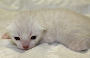 www.amazonbengals.com Princess Jai Silver Snow Spotted Bengal kitten Female DOB 05-05-2019