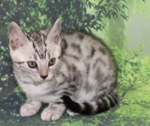 www.amazonbengals.com AmazonBengals Prince Carson Silver Bengal Kitten Male