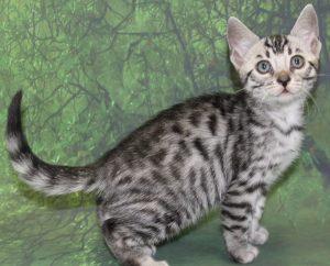 www.amazonbengals.com AmazonBengals Prince Kyan Silver Bengal Kitten Male