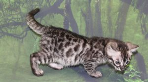 www.amazonbengals.com AmazonBengals Prince Marcos Silver Charcoal Male SOLD