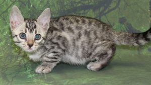 www.amazonbengals.com AmazonBengals Prince Ted Silver Bengal Male Kitten