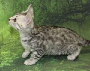 www.amazonbengals.com AmazonBengals Prince Thom Silver Bengal Kitten Male