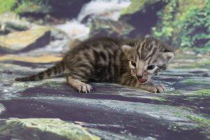 www.amazonbengals.com AmazonBengals Herb Brown Black Spotted Bengal Kitten