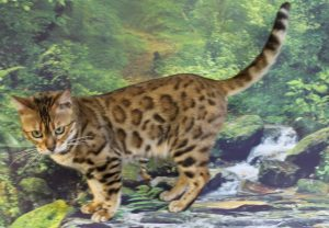 www.amazonbengals.com AmazonBengals LaLa Ivana Spot You Brown Black Spotted Bengal Retired Queen