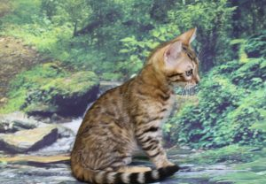 www.amazonbengals.com AmazonBengals Leonidas Brown Black Spotted Bengal Kitten