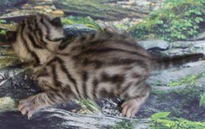 www.amazonbengals.com AmazonBengals Rosemary Silver Black Spotted Bengal Kitten