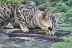 www.amazonbengals.com AmazonBengals Carson Silver Black Spotted Bengal Kitten