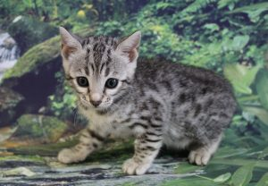 www.amazonbengals.com AmazonBengals Coco Silver Black Spotted Bengal Kitten