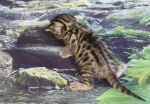 www.amazonbengals.com AmazonBengals Maurice Brown Black Spotted Bengal Kitten
