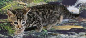 www.amazonbengals.com AmazonBengals Mocha Brown Charcoal Black Spotted Bengal Kitten