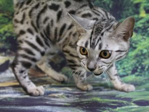 www.amazonbengals.com AmazonBengals ted Silver Black Spotted Bengal Kitten