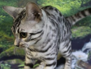 www.amazonbengals.com AmazonBengals thom Silver Black Spotted Bengal Kitten
