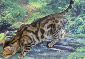www.amazonbengals.com AmazonBengals Claire Brown Black Spotted Bengal Retired Queen