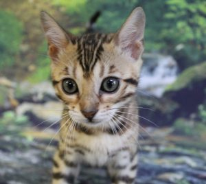 www.amazonbengals.com AskariBengals Sasha Brown Black Spotted Bengal Future Queen