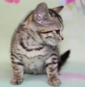www.amazonbengals.com Brown Spotted Bengal Kitten