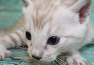 www.amazonbengals.com Silver Mink Spotted Bengal Kitten