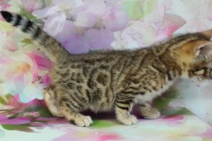 www.amazonbengals.com Brown Black Spotted Female Bengal Kitten