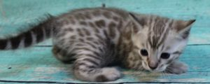 www.amazonbengals.com Silver Mink Spotted Male Bengal Kitten