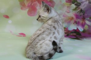 www.amazonbengals.com Silver Mink Spotted Female Bengal Kitten