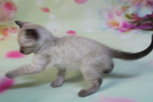www.amazonbengals.com Silver Seal Lynx Spotted Female Bengal Kitten