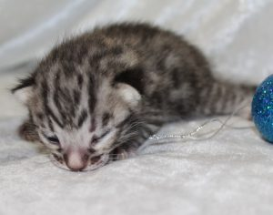 www.amazonbengals.com Brown Spotted Bengal Kitten Male