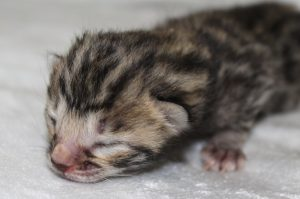 www.amazonbengals.comSilver Charcoal Spotted Bengal Kitten Female