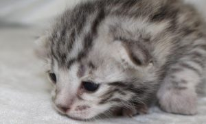 www.amazonbengals.com Brown Spotted Bengal Kitten Female