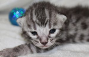 www.amazonbengals.comSilver Charcoal Spotted Bengal Kitten Male