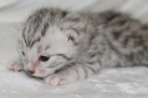 www.amazonbengals.comSilver Spotted Bengal Kitten Female