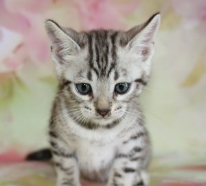 www.amazonbengals.com Silver Black Spotted Female Princess Heather