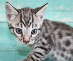 www.amazonbengals.com Silver Black Spotted Female Prince Henry