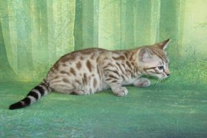 www.amazonbengals.com Seal Mink Spotted Male Prince Mansa Musa