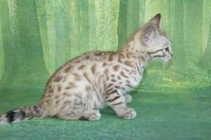 www.amazonbengals.com Seal Mink Spotted Female Princess Ginger