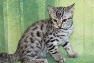 www.amazonbengals.com Silver Black Spotted Female Princess Hope