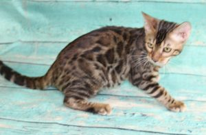 www.amazonbengals.com Brown Black Spotted Male Prince Danny Boy