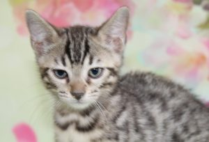 www.amazonbengals.con AmazonBengals-Brown-black-Spotted-Bengal-Kitten-Female-Princess-Davery