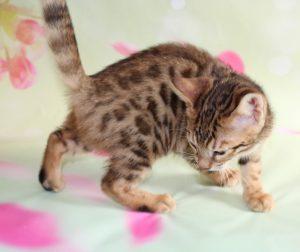 www.amazonbengals.con AmazonBengals-Brown-black-Spotted-Bengal-Kitten-Female-Princess-Drew