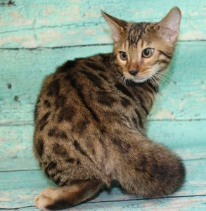 www.amazonbengals.com AmazonBengals-Brown-BLack-Spotted-Bengal-Kitten-MALE-Prince-Dimitri