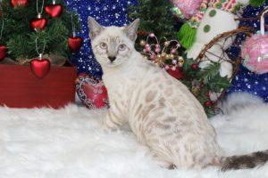 www.amazonbengals.com AmazonBengals Seal Lynx Female Princess Matfei