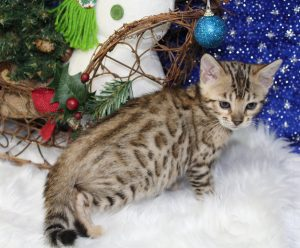 www.amazonbengals.com Brown Black Spotted Bengal Kitten Male Prince Shilo