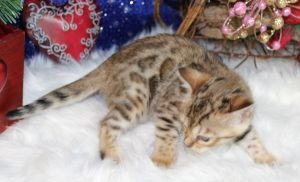 www.amazonbengals.com Brown Black Spotted Bengal Kitten Female Princess Sandi
