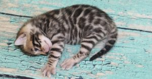 www.amazonbengals.com AmazonBengals Brown Black Spotted Bengal Kitten Male Prince Ryder