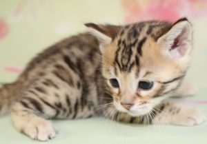 www.amazonbengals.com Brown Black Spotted Bengal Kitten Female Princess Sawyer
