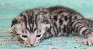 www.amazonbengals.com AmazonBengals Silver Black Spotted Bengal Kitten Prince Owen