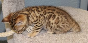 www.amazonbengals.com Brown Black Spotted Bengal Kitten Female Princess Sawyer