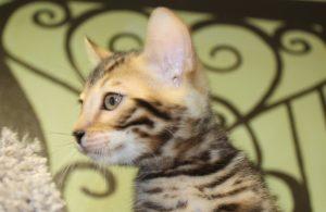 www.amazonbengals.com AmazonBengals Brown Black Spotted Bengal Kitten Male Prince Ryan